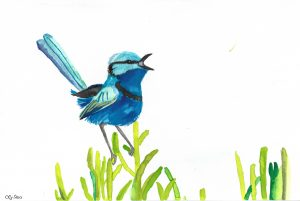 A screaming splendid fairy wren.